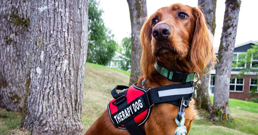 Irish Setter dog in Therapy Dog Vest