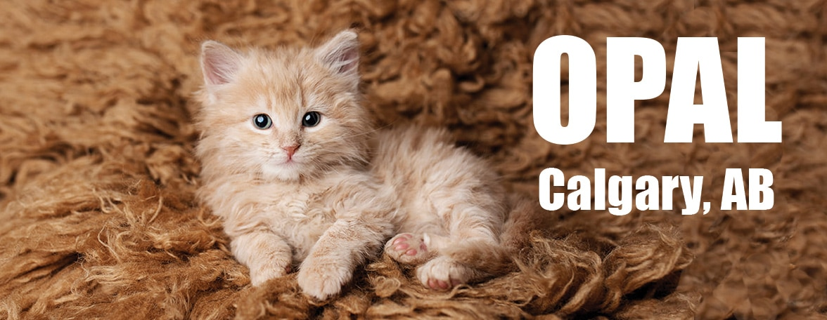 Orange kitten on rug named OPAL from Calgary AB Canada