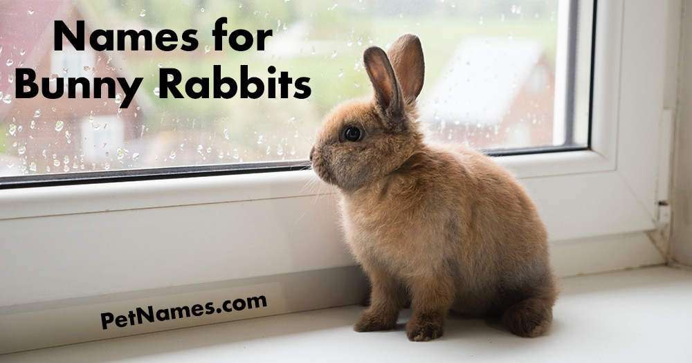 Bunny Rabbit Names - Bunny Looking out a Window