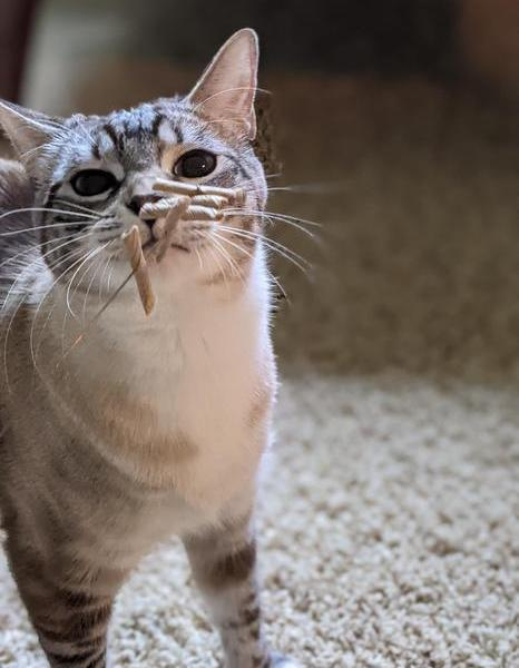 Close up photo of a cat's face smelling the cat toy.