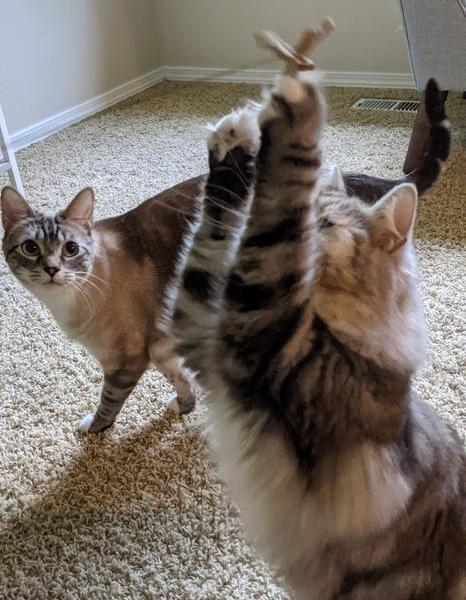 A long hair cat has her arms up in the air reaching for a toy while another cat watches in the background.