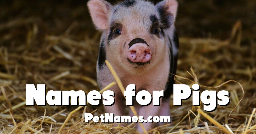 A photo of a spotted pig with the title Names for Pigs.