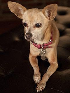 Gidget the Chihuahua